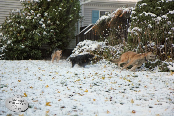 Three dogs from Life with Dogs and Cats run through the snow.