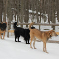 Three dogs standing on top of frozen snow