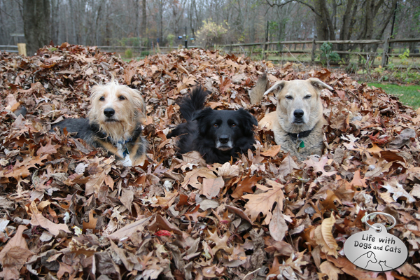 Tucker Lilah Jasper 3 dogs in a pile of leaves