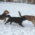 3 dogs running in the snow