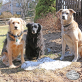 Tucker Lilah and Jasper sit near what is left of our snow pile in April