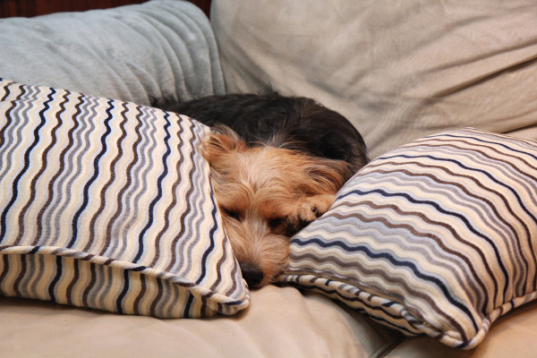 Dog laying between 2 pillows