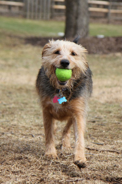 Dog runs with ball in mouth