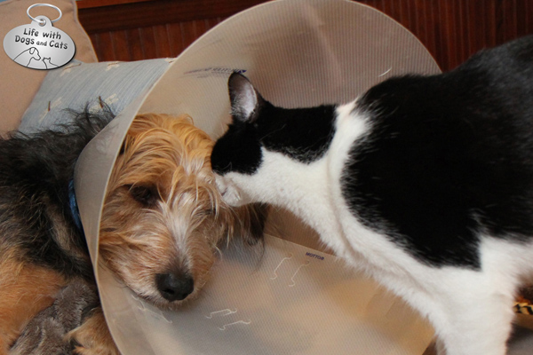 Calvin comforts Tucker when he has to wear a cone