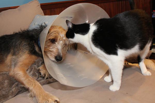Cat in dog's cone