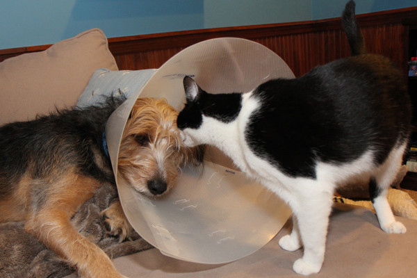 Cat in dog's cone