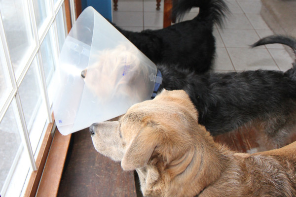 Window patrol can still be done while wearing a cone.