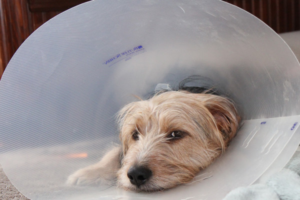 "Sad Tucker wearing the ""Cone of Shame."""