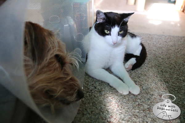 Calvin next to Tucker, who has to wear a cone.