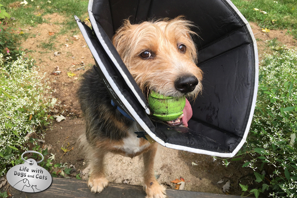 Nothing gets in the way of Tucker playing ball, not even a cone.