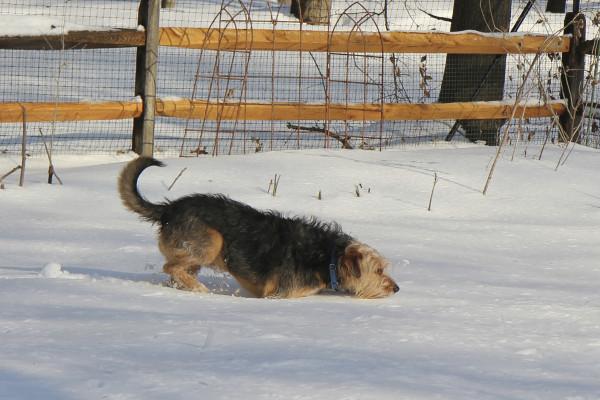 Dog tries to walk through deep snow