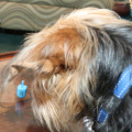 Dog intently watches dreidel