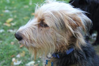 Tucker dog with tick trefoil burrs