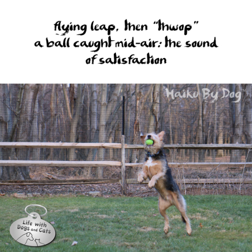 "Haiku by Dog: flying leap, then ""thwop"" / a ball caught mid-air: the sound / of satisfaction"