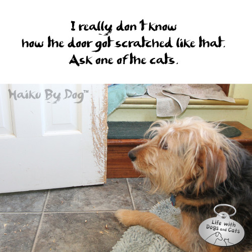 Haiku by Dog: I really don't know / how the door got scratched like that.  / Ask one of the cats.