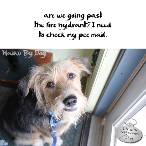 Haiku by Dog: are we going past / the fire hydrants? I need / to check my pee mail