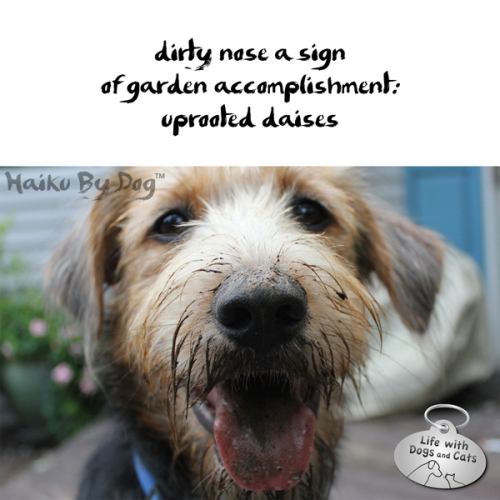 Haiku by Dog: dirty nose a sign / of garden accomplishment / uprooted daisies