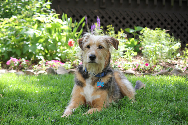 Tucker poses in front of one of my garden beds.