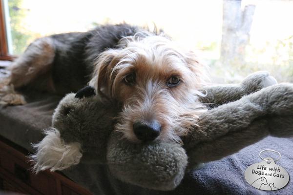 Tucker and a stuffed koala bear