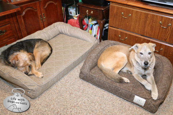 Tucker and Jasper on Brentwood Home beds in my office