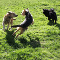 Three dogs playing in the grass