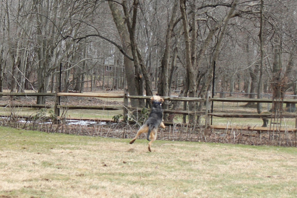 Dog leaps in the air