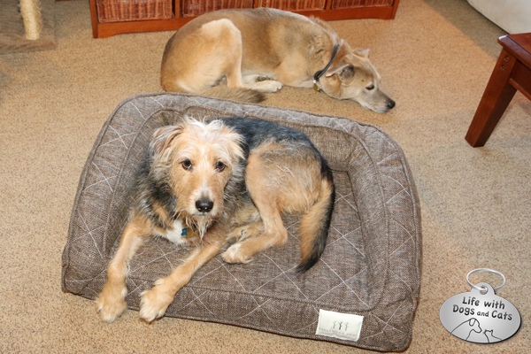 Tucker on the Brentwood Home bed with a sad Jasper behind.