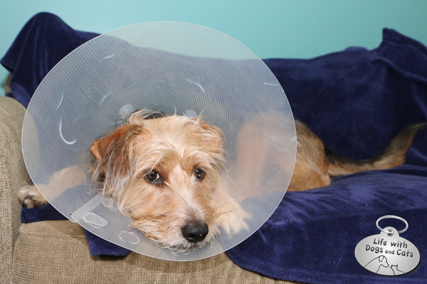 Sad Tucker has to wear a cone.