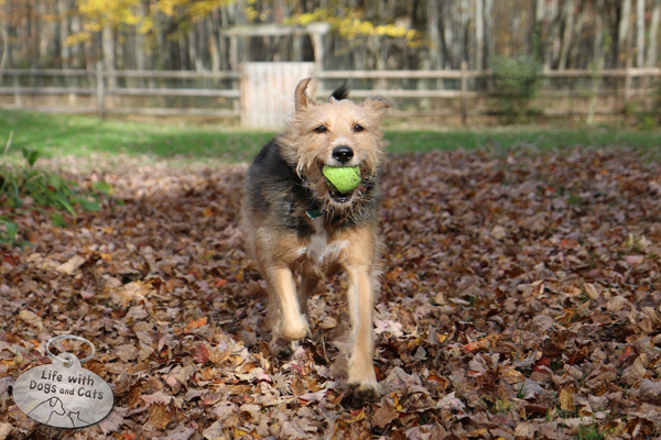 Tucker is all about the ball, and leaves are nothing more than something he has to run through to chase—or bring back—his beloved orb.