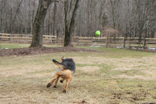 Dog chases ball