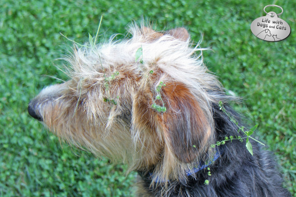 Burs in a dog's coat