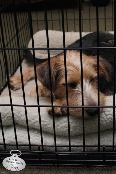 Puppy Tucker sleeping in his crate.