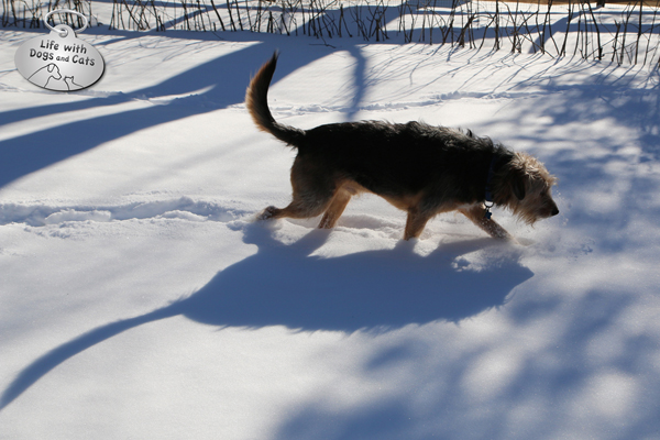 Tucker the dog walks in the snow, casting a blue shadow