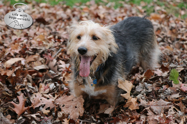 Tucker in a leaf pile with tongue hanging out