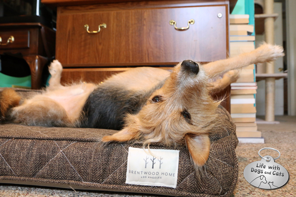 Tucker tries out a Brentwood Home dog bed