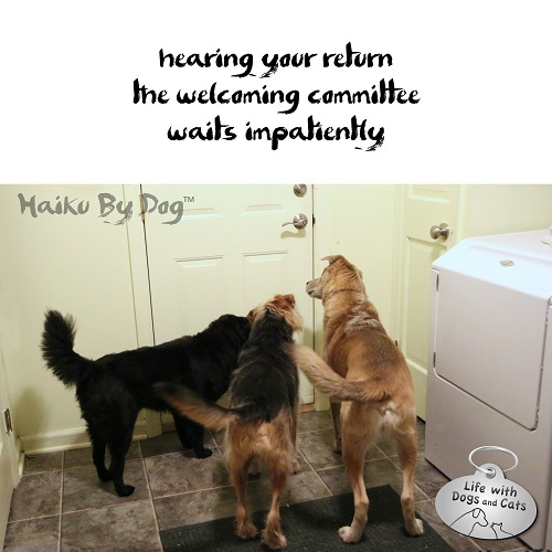 Haiku by Dog: hearing your return / the welcoming committee / waits impatiently