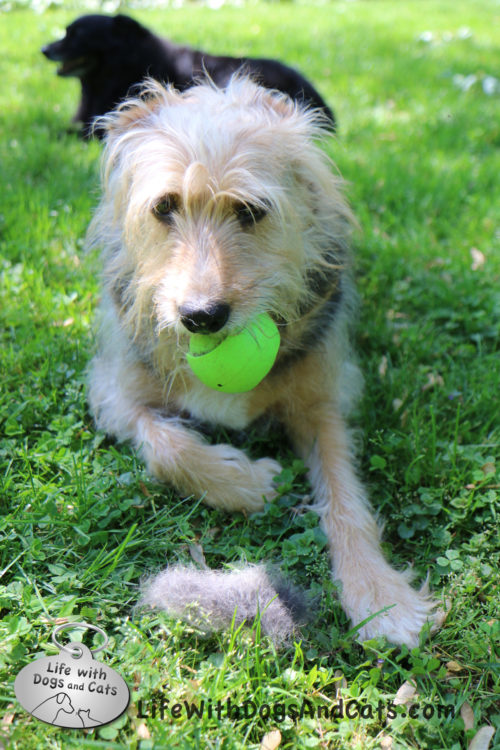 Tucker and his ball, Lilah in the background, with the entire amount of fur I got when I groomed him.