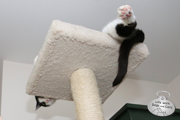 Calvin is one of those cats that loves to climb. #HappyCatMonth