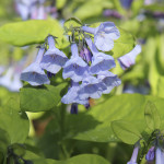 In the front of my house, where there is no deer fence, I grow native plants, like Virginia bluebell
