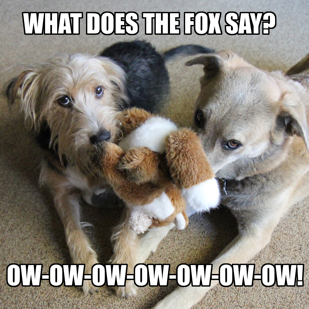 What does the fox say? Ow-ow-ow-ow-ow-ow-ow!
