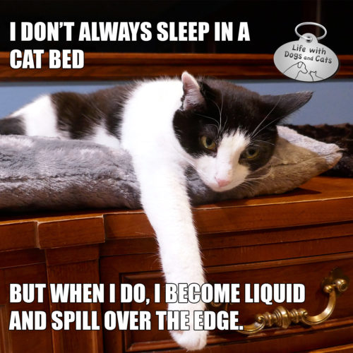 I don't always sleep in a cat bed but when I do, I become liquid and spill over the edge. #MostInterestingCatInTheWorld #StayComfy, my friends.