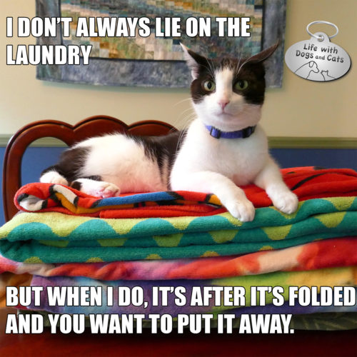 I don't always lie on the laundry. but when I do, it's after it's folded and you want to put it away. #MostInterestingCatInTheWorld #StayComfy, my friends