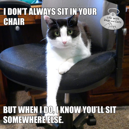 I don't always sit in your office chair. But when I do, I know you'll sit somewhere else. #MostInterestingCatInTheWorld #StayComfy, my friends