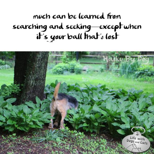 Much can be learned from / searching and seeking - except when / it's your ball that is lost #HaikuByDog #Haikusday #MicroPoetry