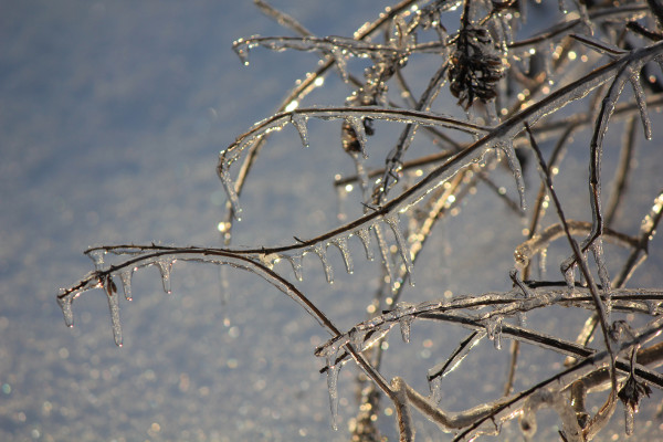 Branches coated with ice