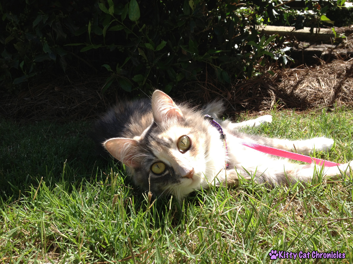 Sophie, a cat with cerebellar hypoplasia, relaxes outside in the sunshine.