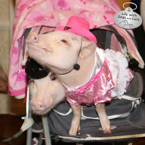 Pigs in stroller at BlogPaws
