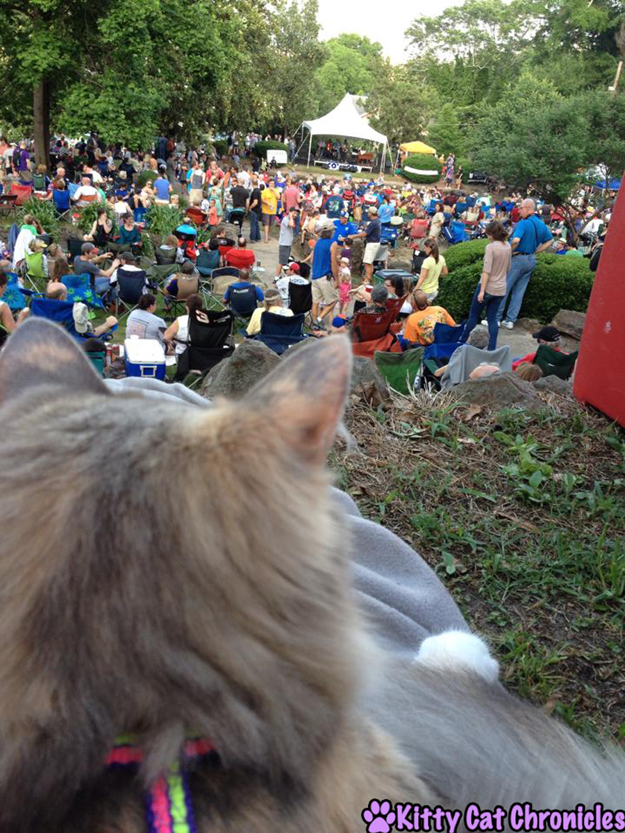Sophie, a cat with cerebellar hypoplasia surveys the crowd at an outdoor concert.