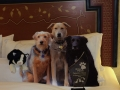 flat-pets-rover-on-bed-blogpaws-2014