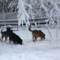 Jasper, Lilah and Tucker, dogs in the snow